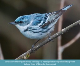cerulean warbler Dendroica cerulea Wikimedia Commons