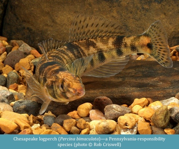 Chesapeake logperch Percina bimaculata ©Rob Criswell
