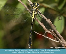green-faced clubtail Gomphus viridifrons ©Jeffrey S. Pippen