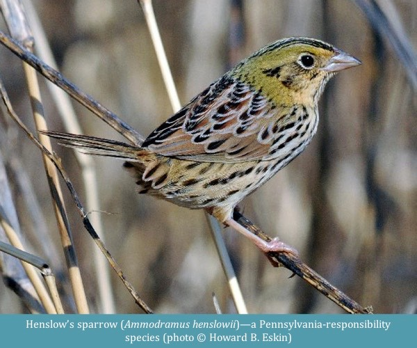 Henslow's sparrow Ammodramus henslowii ©Howard B. Eskin