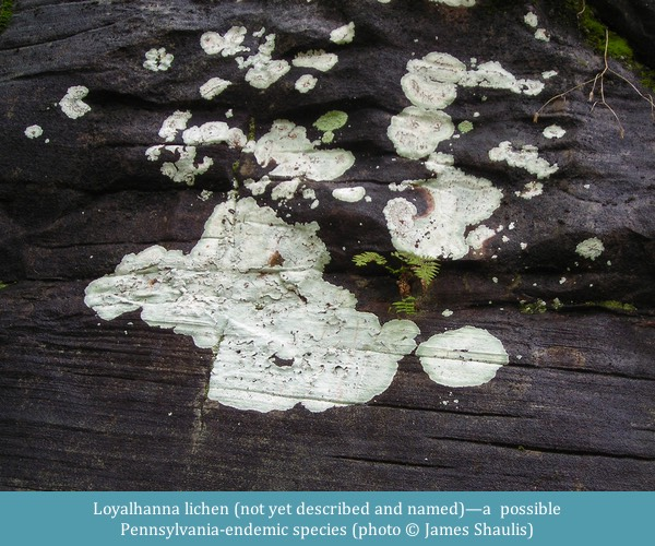 Loyalhanna lichen ©James Shaulis