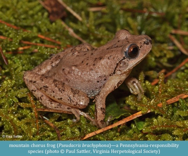 mountain chorus frog Pseudacris brachyphona ©Paul Sattler Virginia Herp Soc
