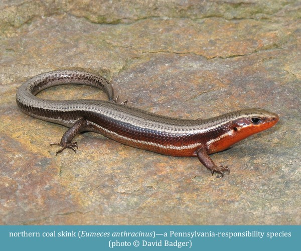 northern coal skink Eumeces anthracinus ©David Badger