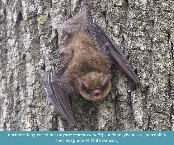 northern long-eared bat Myotis septentrionalis ©Phil Swanson