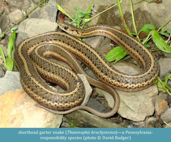 shorthead garter snake Thamnophis brachystoma ©David Badger