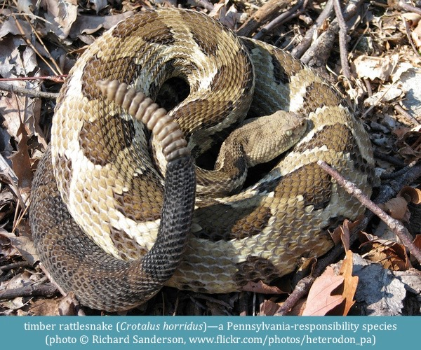 timber rattlesnake Crotalus horridus ©Richard Sanderson